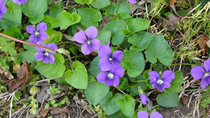 Wild Violet leaflet shape.