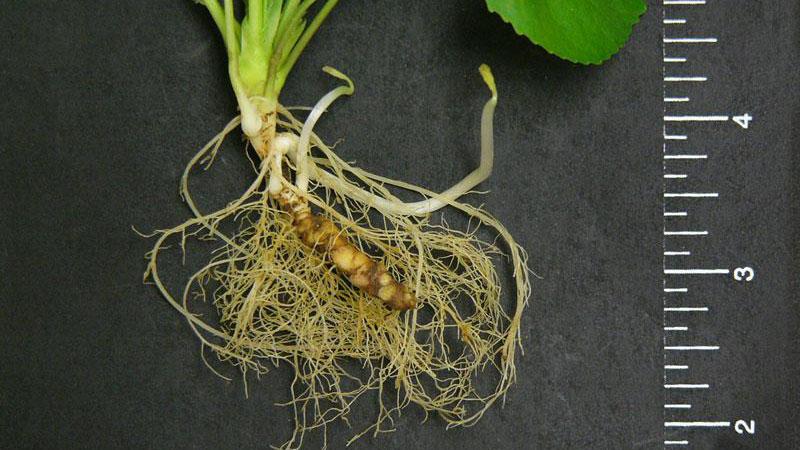 Wild violet root type.