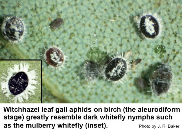 The aleurodiform of the witchhazel leaf gall aphid on birch.