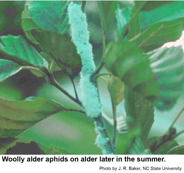 Sometimes woolly alder aphids are completely obscured