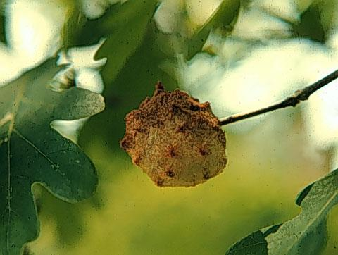 Thumbnail image for Galls on Oaks