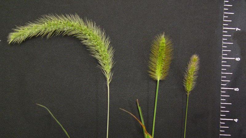 Yellow Foxtail seedhead