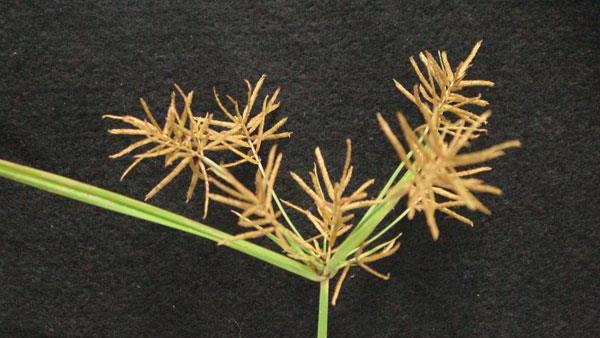 Figure 3. Yellow nutsedge seedhead.
