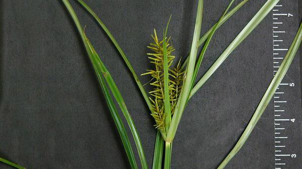 Figure 4. Yellow nutsedge seedhead.
