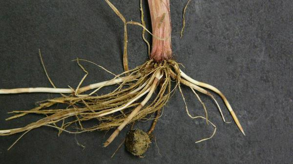 Figure 6. Yellow nutsedge tuber.