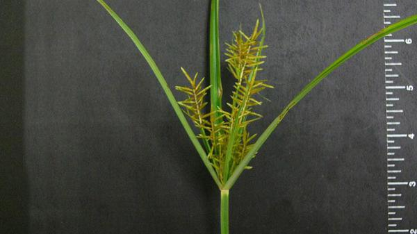 Figure 1. Yellow nutsedge seedhead.