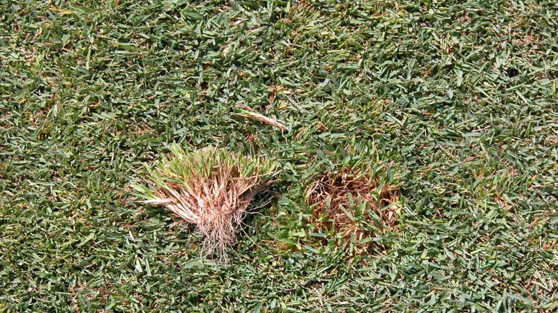 Yellow tuft root / crown symptoms.
