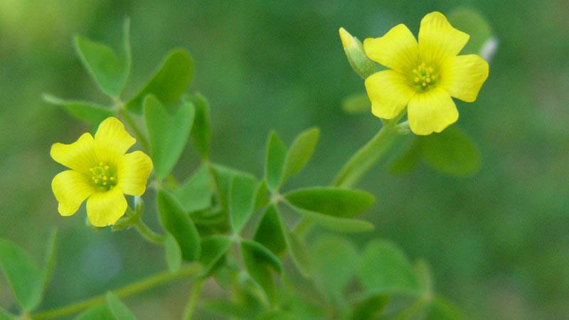 Yellow woodsorrel flower color.