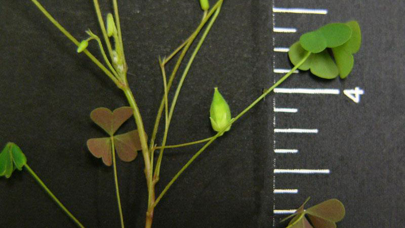 Yellow woodsorrel growth habit.