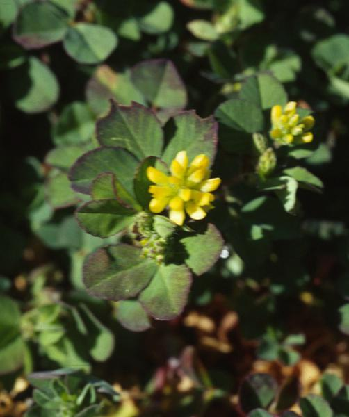 Photo of yellow hop clover