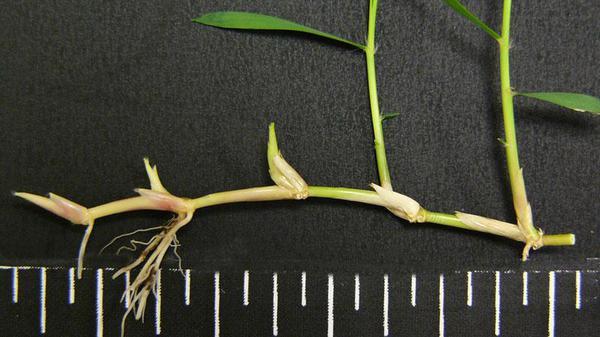 Zoysiagrass stolon.